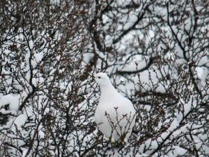 female ptarmigan in winter morph in Þórsmörk