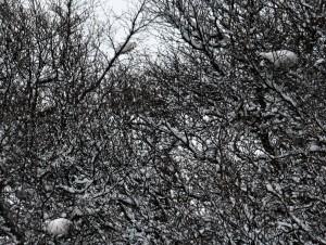 Three ptarmigans in birch trees