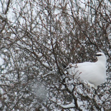 Icelandic ptarmigan in the birch trees of Thórsmörk
