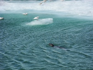 seal in Jökulsárlón