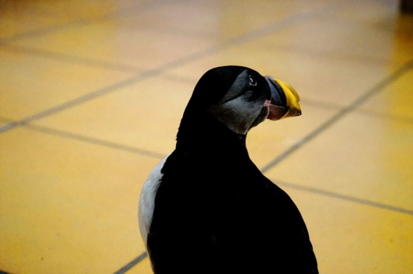 Tóti the Puffin at the Sæheimar Museum